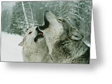 An Alpha Male Gray Wolf, Canis Lupus Greeting Card by Jim And Jamie Dutcher