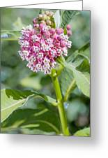 Asclepias Flower Greeting Card