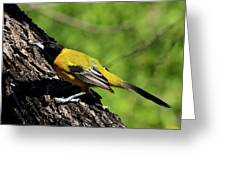 Audubon Oriole Greeting Card