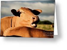 Australian Cows Greeting Card