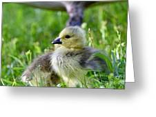 Baby Goose Chick Greeting Card