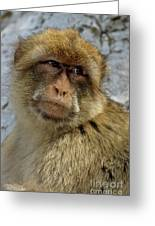 Barbary Macaque Looking Away In Annoyance Greeting Card