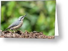 Beautiful Nuthatch Bird Sitta Sittidae On Tree Stump In Forest L Greeting Card