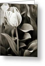 Black And White Tulip Greeting Card