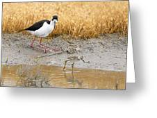 Black Necked Stilt With Chick Greeting Card