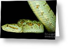 Blotched Palm Pitviper Greeting Card