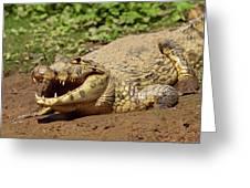 Caiman Crawling Into Yakuma River Greeting Card