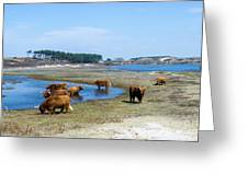 Cattle Scottish Highlanders, Zuid Kennemerland, Netherlands Greeting Card