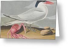 Cayenne Tern Greeting Card