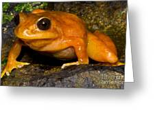 Chilean Tomato Frog Greeting Card