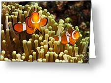 Clown Anemonefish Greeting Card