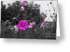 Cosmos Flower Greeting Card