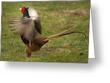 Crowing Pheasant Greeting Card