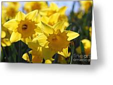 Daffodils In The Sunshine Greeting Card