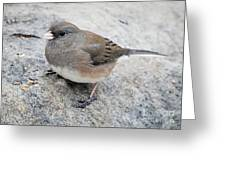 Dark-eyed Junco Greeting Card