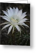 Echinopsis  Greeting Card