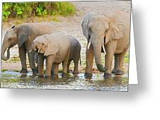 Elephants At The Bank Of Chobe River In Botswana Greeting Card
