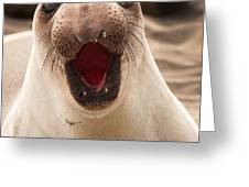 Female Northern Elephant Seal Mirounga Angustirostris Greeting Card