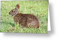 Florida Marsh Rabbit Greeting Card