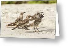 Galapagos Hood Mockingbird Greeting Card