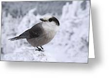 Gray Jay - White Mountains New Hampshire Usa Greeting Card by Erin Paul Donovan