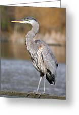 Great Blue Heron In Stanley Park Vancouver Greeting Card