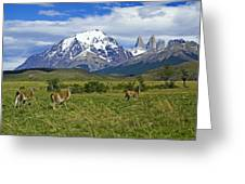 Guanacos In Torres Del Paine Greeting Card