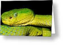 Guatemala Palm Pitviper Greeting Card