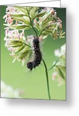 Gypsy Moth Caterpillar Greeting Card