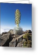 Haleakala Silversword Greeting Card