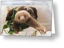 Hoffmanns Two-toed Sloth Choloepus Greeting Card