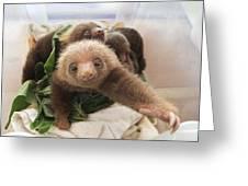 Hoffmanns Two-toed Sloth Choloepus Greeting Card by Suzi Eszterhas