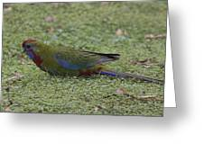 Juvenile Crimson Rosella Greeting Card