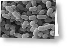 Lactobacillus Sakei, Sem Greeting Card