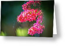 Lagerstroemia Indica Crape Myrtle Crepe Myrtle Greeting Card