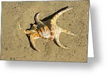 Lambis Arthritica Spider Conch Greeting Card