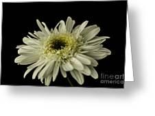 Leucanthemum Highland White Dream Greeting Card
