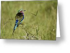 Lilac-breasted Roller Greeting Card