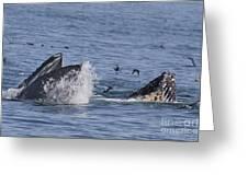 Lunge-feeding Humpback Whales Greeting Card