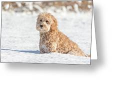 Mini Golden Doodle  Greeting Card