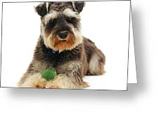 Miniature Schnauzer Greeting Card by Jane Burton