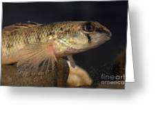 Mobile Logperch Percina Kathae Greeting Card