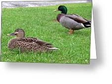 New Zealand - Pair Of Mallard Duck Greeting Card