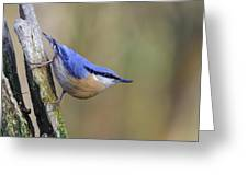 Nuthatch -- Greeting Card