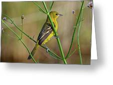 Orchard Oriole Greeting Card