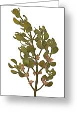 Pacific Mistletoe Greeting Card