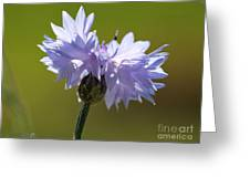 Pale Blue Bachelor Button From The Double Ball Mix Greeting Card