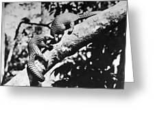 Pangolin Greeting Card
