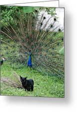 2 Peacocks And A Black Pussy Cat Greeting Card