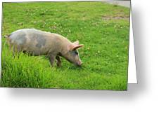 Pig In A Pasture Greeting Card